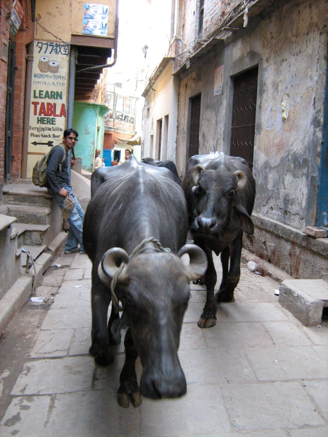 Some cows hanging out with us in the narrow streets of Varanasi.
